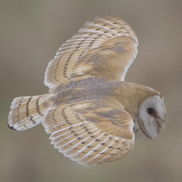 Barn Owl by Steve Race